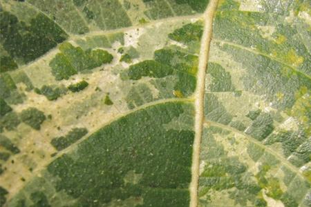 leaf 1stock