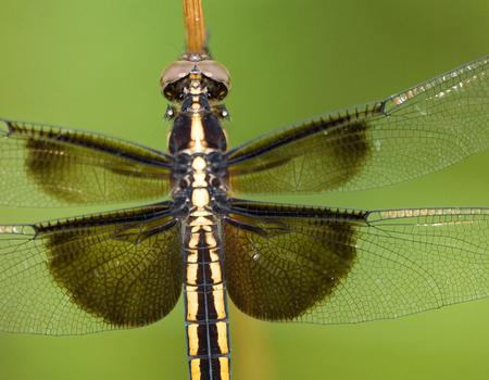 Widow Dragonfly Standard Desktop Wallpaper