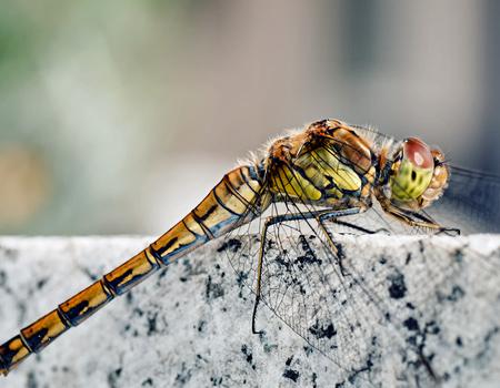 Dragonfly Macro #3