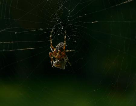 Spider having breakfast.