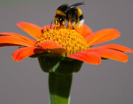 Dahlia(bee)