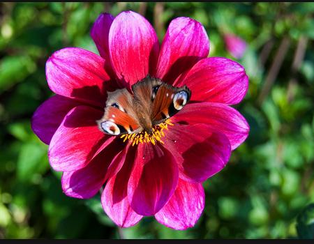 Dahlia (butterfly)