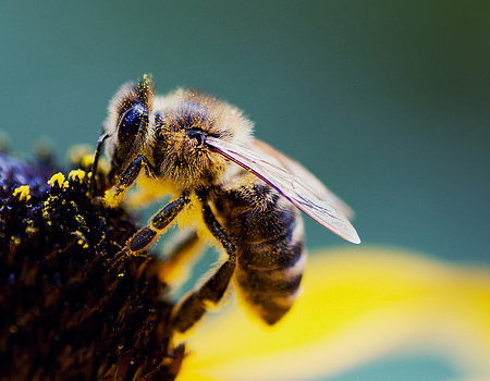 Wallpaper - Super Sharp Bee
