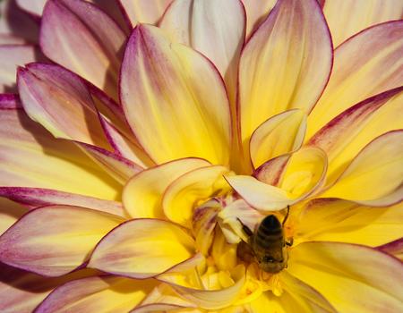 Dahlia (wasp)