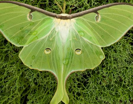 Luna Moth Wallpaper for Widescreen Desktop