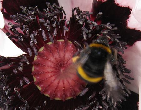 bumblebee in poppy