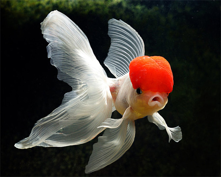 My Goldfish 2 Wallpaper