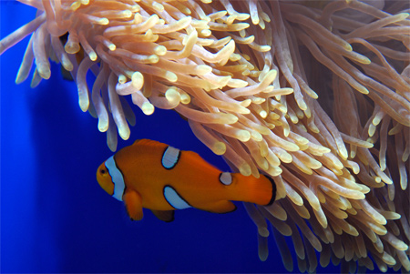Clown Fish Wallpaper