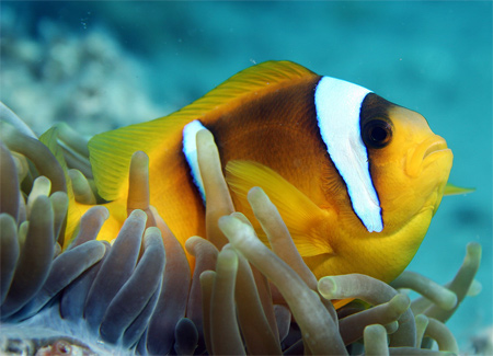 2 Banned Anemone Fish Wallpaper