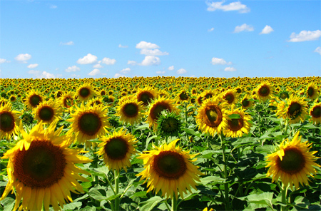 field of sunflower dreams