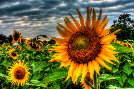Sunflower - HDR