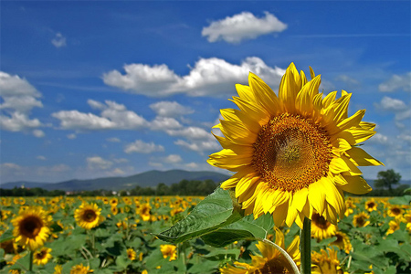 Image result for beautiful pictures of sunflowers