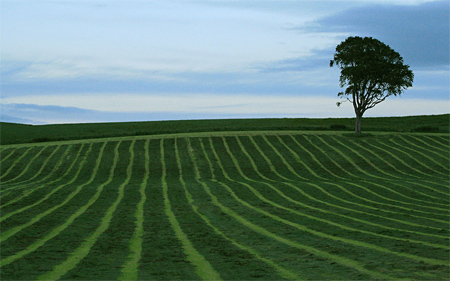 Tree in stripy field (II)