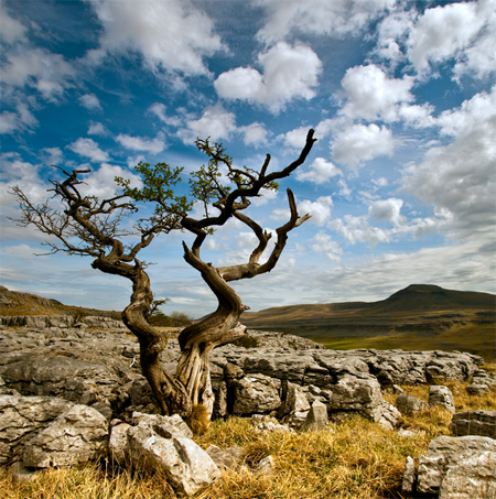 Tree on Twisleton Scar