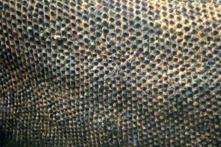 Komodo Dragon Skin Texture