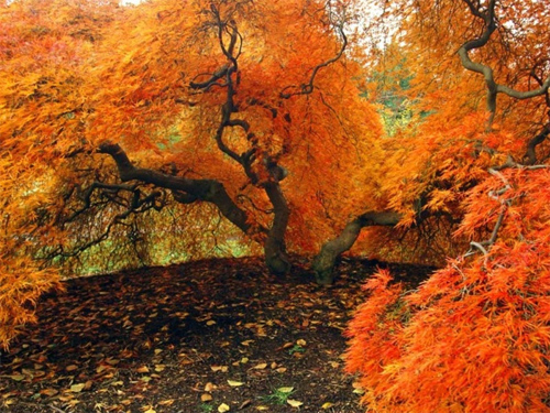 Autumn Us Japanese Maple Biltmore