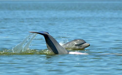 Dolphins. Dauphin Island AL 2011